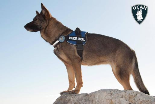 Uno de los agentes caninos de la Policía Local de Palma
