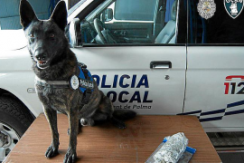 Descubren que dos perros de la Policía Local de Palma sufren leishmaniosis y otro está ciego