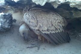 Estudian las consecuencias de la llegada del buitre leonado a Mallorca en 2008