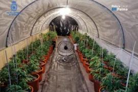 Detenido uno de los mayores expertos en el tratamiento de la marihuana de Baleares