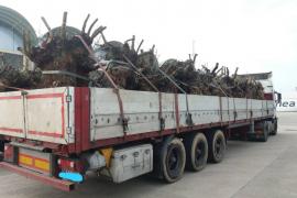 Prohíben la entrada temporal en Mallorca a dos trailers cargados de olivos