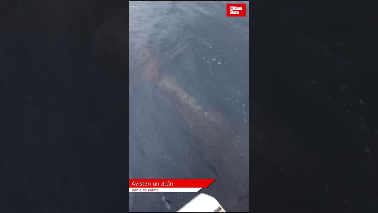 Avistan un atún en la bahía de Palma