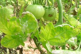 La plaga de la tuta en los tomates arrasa de nuevo en Mallorca y se prevé un verano de grandes daños