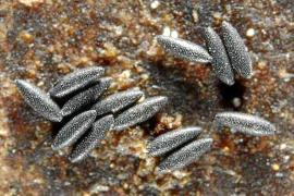 El gusano del corazón gana terreno en Mallorca con la proliferación del mosquito tigre