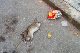 Las ratas «campan a su anchas» por Binissalem, según el PP