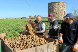 El cálido invierno adelanta el inicio de la campaña de exportación de patata de sa Pobla