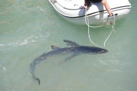 La disminución de la pesca de arrastre alarga la vida de tiburones y rayas en Baleares