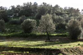 Medi Ambient protege los árboles singulares del insecto transmisor de la Xylella