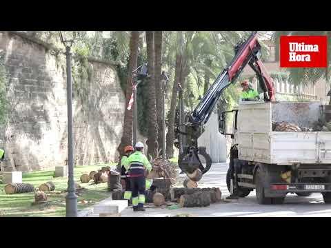 Retiran las palmeras caídas por el fuerte viento en Palma
