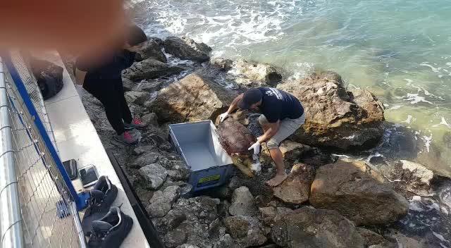 Hallan una tortuga marina muerta cerca del paseo del Port de Andratx