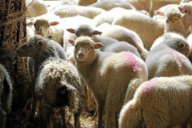 Caen en picado las ventas de cordero local debido al parón de la temporada turística