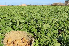 Los portales de patata de sa Pobla mantienen la exportación a pesar de la incertidumbre