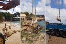 Tres vacas muertas aparecen en la costa de Capdepera