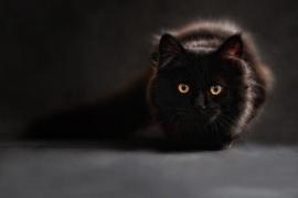 Un gato, contagiado de coronavirus por su dueño