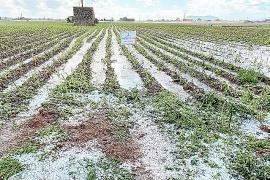 Asaja calcula pérdidas de hasta 2.500 toneladas de patata por la granizada en sa Pobla