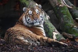 Un tigre del zoo del Bronx de Nueva York da positivo por coronavirus