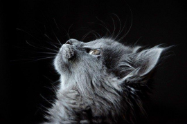 Un estudio afirma que los gatos pueden contraer el coronavirus y empuja a un análisis de la OMS