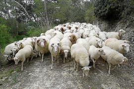 Éxito de la campaña de cordero con más de doce mil animales vendidos