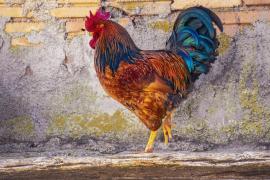 Un concejal se salta la cuarentena en Colombia para acudir a una pelea de gallos