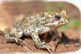 El Govern detecta la reproducción del sapo en el Parc de Llevant tras las últimas lluvias