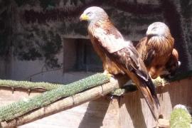 Encuentran en Mallorca un ejemplar de milano con un disparo en un ala