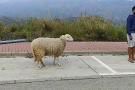 Denunciado en Marbella por sacar a pasear una oveja durante el confinamiento