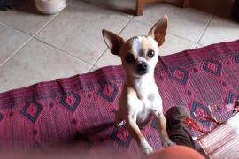 Denuncian el asalto de una vivienda de 'fora vila' de Llucmajor para llevarse un chihuahua