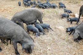 El 'porc negre' resiste al cierre de la restauración con su 'porcella' a domicilio