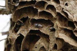 La UIB busca en el ADN de la avispa asiática su vía de entrada en Mallorca