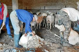 El estado de alarma dificulta el trabajo de esquilar ovejas