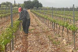 Bodegas de la Isla se plantean producir menos vino ante la incertidumbre por la restauración