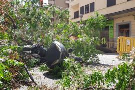 Un árbol cae sobre un motorista en Palma