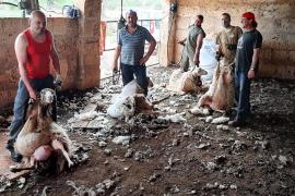 El arte de esquilar las ovejas