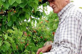 La Cooperativa de Porreres busca fórmulas para acercar los albaricoques a sus clientes