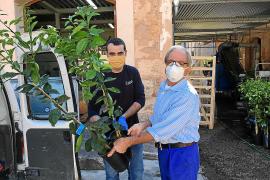 La Cooperativa de Sóller distribuye 800 naranjos 'canoneta' para salvar la variedad