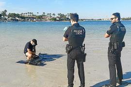 Denuncian ante el Colegio de Veterinarios el sacrificio de la cría de delfín varada en la playa de Alcúdia