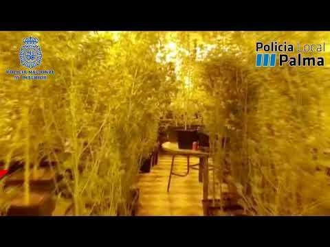 Detenido en Llubí un 'proveedor' de marihuana a «innumerables puntos de venta en Palma»