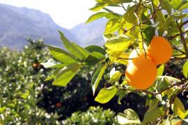 El precio de las naranjas en el mercado es el doble de lo que cobra el payés