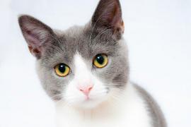 Detectan un gato con coronavirus asintomático y sano
