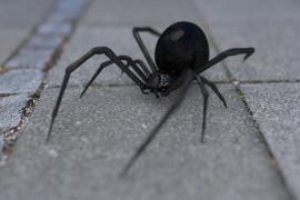 Tres hermanos sueñan con convertirse en Spider-Man y hacen que les pique una viuda negra