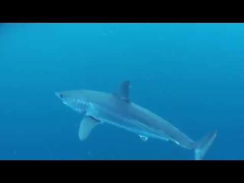 El mar balear, escenario de un proyecto de recuperación de huevos de tiburón y rayas