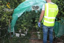 Dos detenidos en Llubí con 240 plantas de marihuana y 4 kilos de cogollos