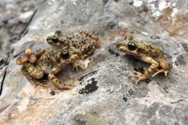 Sueltan 647 larvas de 'ferreret' en la Serra de Tramuntana