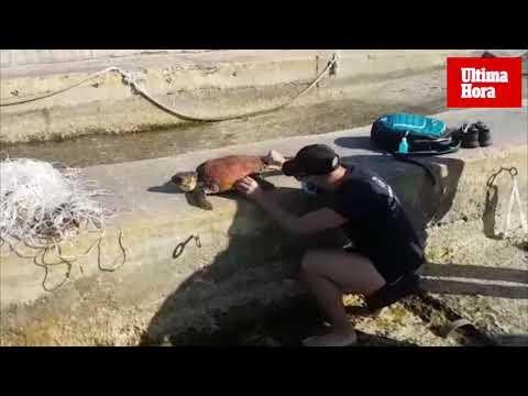 Rescatan a una tortuga herida en Sant Elm