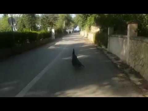 Un pavo real se pasea por el Port d'Andratx