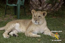 La Guardia Civil halla una leona que un vecino tenía en una urbanización de Badajoz