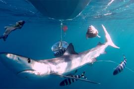 La mitad de los tiburones del Mediterráneo viven con anzuelos clavados