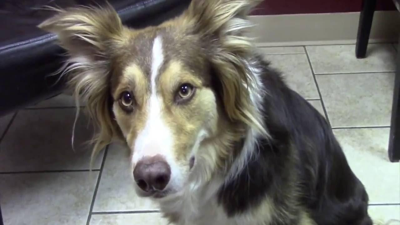 ¿Por qué mi perro hace ruidos extraños? La causa podría ser el estornudo inverso