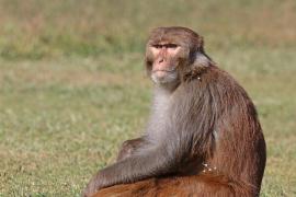 'Condenado' un peligroso mono alcohólico