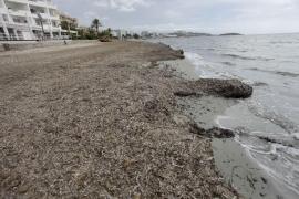 La posidonia en las playas de Vila, el eterno debate que nunca cesa